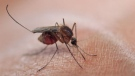 Researchers at Nagoya University have shown that human blood extracted from a buzzing bloodsucker can be traced back to its original owner up to 48 hours after a skeeter has siphoned it off. HAYKIRDI /Istock.com