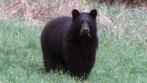 FILE - In this April 22, 2012 file photo, a black bear grazes in a field. (AP / Toby Talbot)