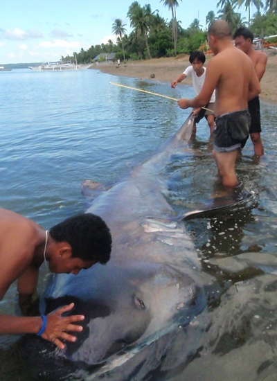This photo, released by the World Wildlife Fund, shows a dead rare megamouth shark at the shores of Donsol town, Sorsogon province, central Philippines on Monday, March 30, 2009. (AP / World Wildlife Fund - Philippines, Elson Aca, HO)