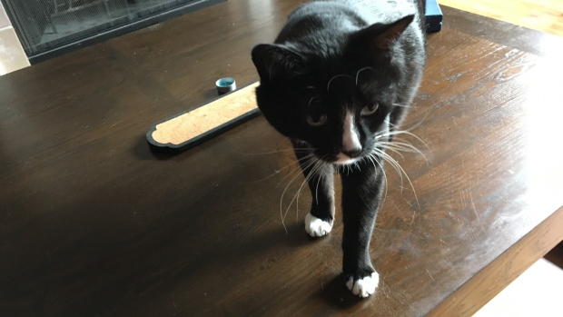 Saskatoon SPCA at capacity; cat adoption drive