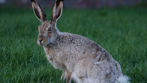 "Research suggests hares and jackrabbits hopping along in the Rocky Mountains demonstrate the ""secret sauce"" for how animals can adapt to a new climate. (Wikimedia commons)"