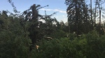 Damaged trees near Breton after a tornado touched down Thursday afternoon (Ashley Polischuk)