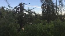Damaged trees near Breton - tornado