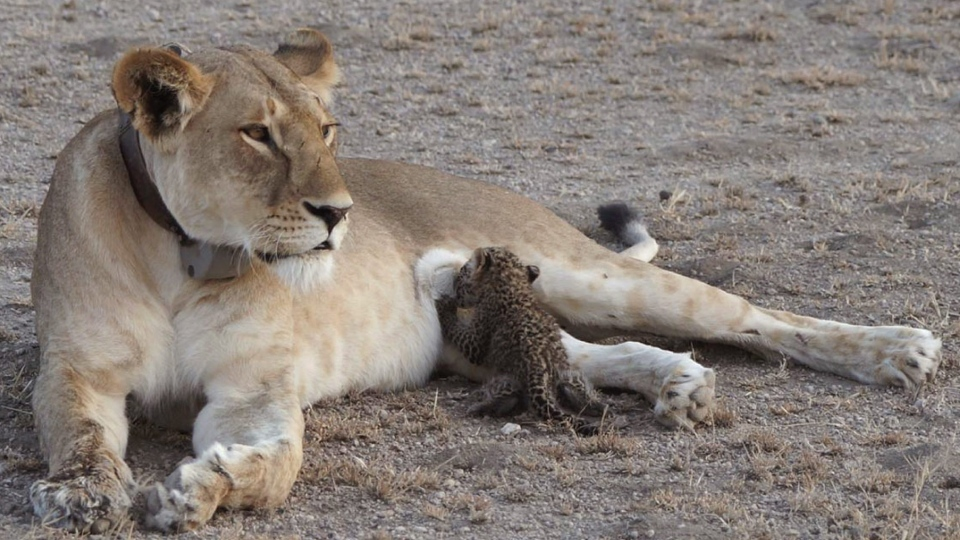 In this Tuesday, July 11, 2017 photo supplied by Joop van der Linde, a leopard cub suckles on a 5-year-old lioness in the Ngorongoro Conservation Area in Tanzania. (Joop van der Linde/Ndutu Safari Lodge via AP)