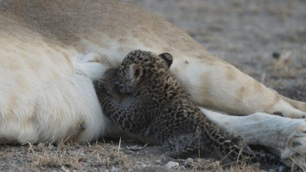 Wild lioness nursing a leopard cub