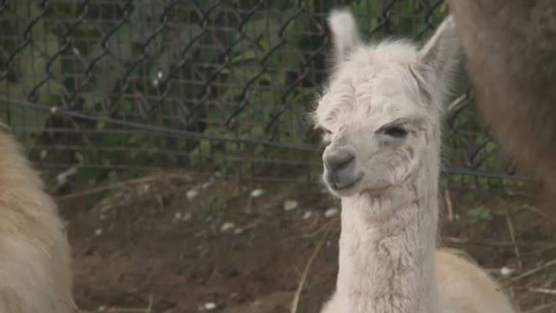 There is also a baby alpaca who now calls the Magnetic Hill Zoo home.