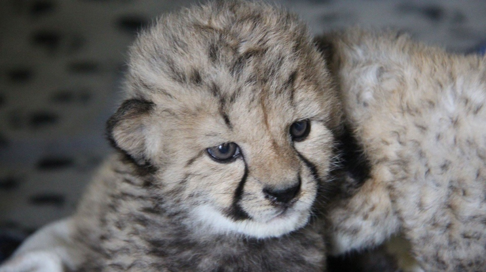 Quebecers got their first look at Mosi and Jelanie, the first cheetah cubs ever born in the province, in a video posted to the Parc Safari Facebook page. (Photo: Parc Safari)