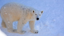 Polar bear Eli (Assiniboine Park Zoo)