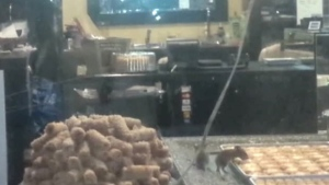 'Disgusting' video shows mice feeding on pastry at Toronto bakery