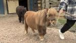 Rio tiny therapy horse