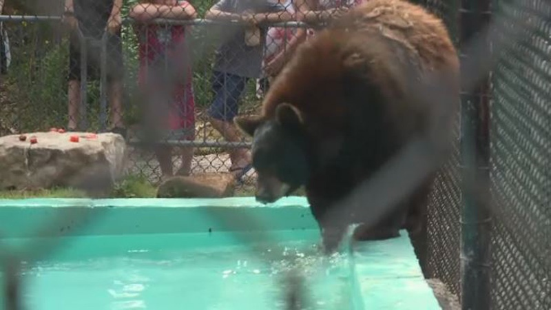 Little Bear is seen enjoying his new enclosure at the Two Rivers Wildlife Park in Huntington, N.S.