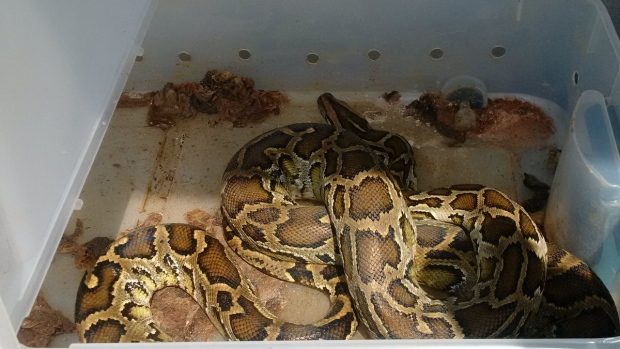 Newmarket pythons