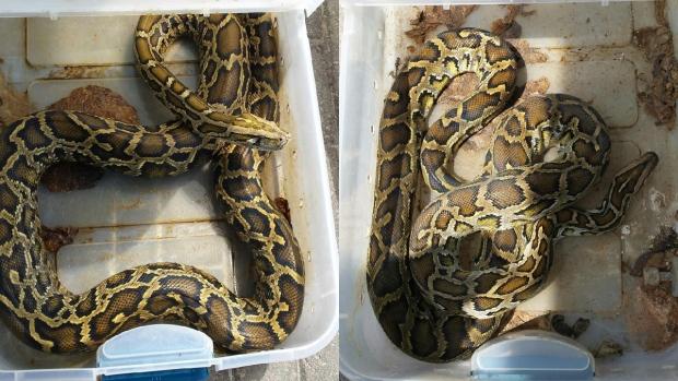 Abandoned Burmese pythons