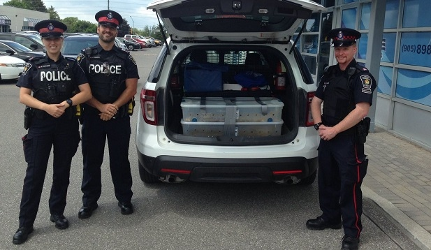 Officers are seen transporting abandoned snakes from Newmarket to the Peterborough area. (York Regional Police)