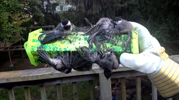 WARNING GRAPHIC CONTENT: Multiple birds were killed after being stuck to a wasp trap. (Facebook)