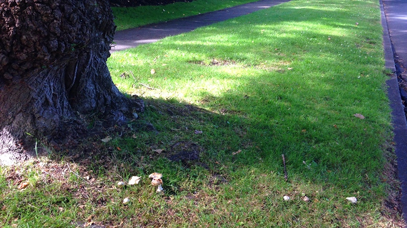 The death cap mushroom has been spotted growing in the Uplands neighbourhood of Victoria. July 17, 2017. (CTV Vancouver)