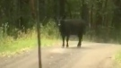Breakthrough in Metchosin moo-stery of rogue cow