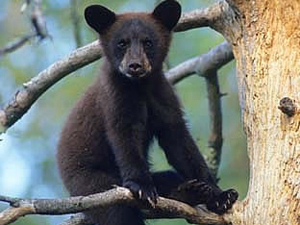 Orphaned black bear cubs from the Vancouver area will have a new centre where they can learn foraging and denning skills before being released back into the wild. April 8, 2009. (Bear Aware B.C.)