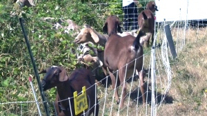 Military base calls in goat reinforcements