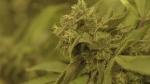 Premiers meet over pot legalization