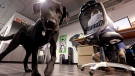 In this Friday, July 14, 2017, photo, Jack, belonging to Geniuslink co-owner Jesse Lakes, roams the office in Seattle, where employees' perks include canine companions, Bose noise-canceling headphones, soccer tickets, Amazon gift cards and daily lunches at nearby restaurants.  (AP Photo/Elaine Thompson)