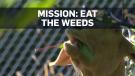 Goats weeds
