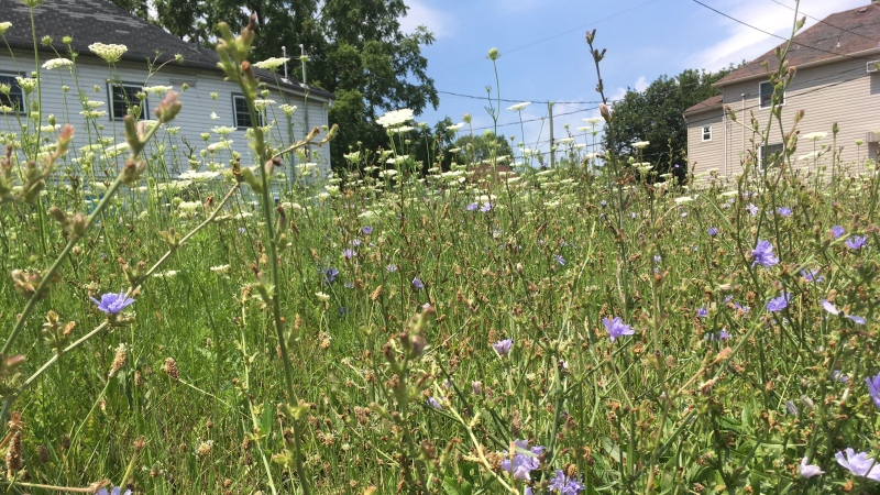 Long grass, weeds and wild flowers in a yard in Windsor, Ont., on Wednesday, July 19, 2017. (Christie Bezaire / CTV Windsor)