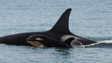 A new orca whale calf is seen near Sooke, B.C., on Monday, Sept. 7, 2015. (Center for Whale Research, Dave Ellifrit)