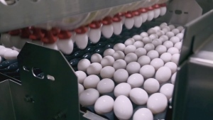 Fields to Forks: Gray Ridge Egg Farms