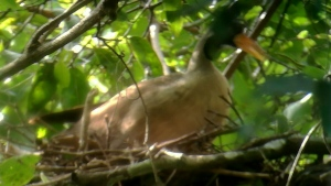 In this undated photo provided by Wildlife Conservation Society, a Masked Finfoot sits on a nest in Preah Vihear Province, Cambodia. The New York-based Wildlife Conservation Society said in a statement on Thursday, July 20, 2017 that its researchers, along with conservationists from Environment Ministry and local residents, found a nest of Masked Finfoot, along the Memay river in the Kulen Promtep Wildlife Sanctuary in Cambodia's northern Preah Vihear Province.  (Wildlife Conservation Society via AP)