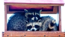 Pair of Raccoons lazing at the bird feeder. Photo by Paul Kun.