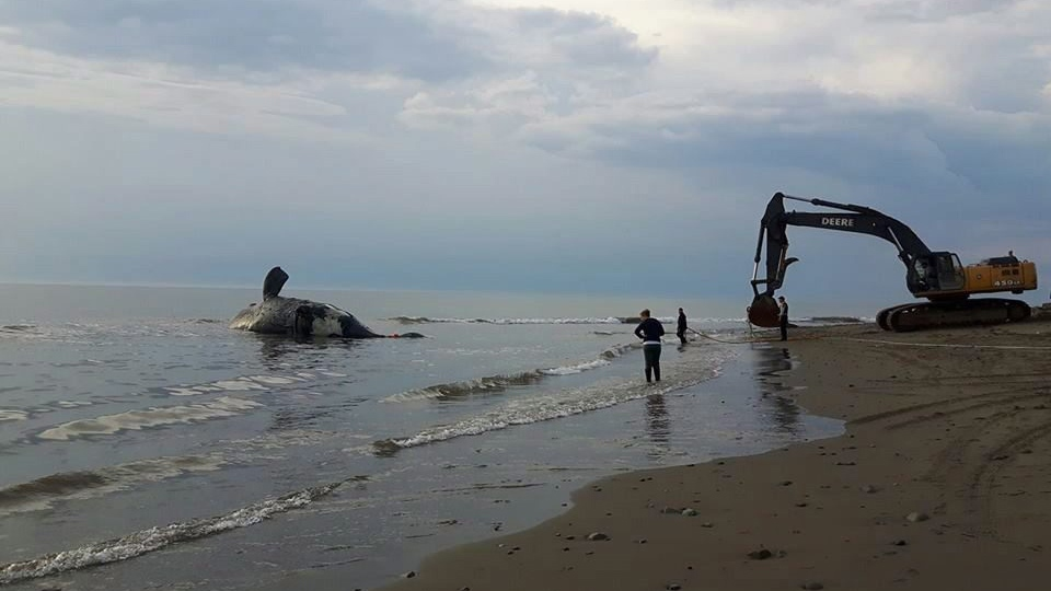An endangered North Atlantic right whale that was found lifeless in the Gulf of St. Lawrence is being towed for a post-mortem examination in this file photo. (THE CANADIAN PRESS/HO-Marine Animal Response Society)