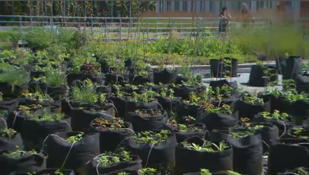 The Palais de Congres convention centre has had a rooftop garden since 2010 where fruits, vegetables and herbs are grown. (CTV Montreal)