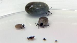 lyme disease, ticks,