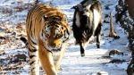 In this photo taken on Sunday, Dec. 6, 2015, Amur the tiger, left. and Timur the goat walk together in the tiger's compound in a wildlife park near Vladivostok, Russian Far East. (AP Photo/Igor Selivanov)