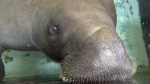 In this photo taken Wednesday, July 17, 2013, Snooty the manatee lifts her snout out of the water at the South Florida Museum in Bradenton, Fla. (AP Photo/Tamara Lush)