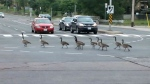 geese in North York
