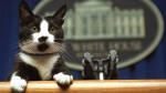 In this March 19, 1994 file photo, Socks the cat peers over the podium in the White House briefing room in Washington. (AP Photo / Marcy Nighswander)