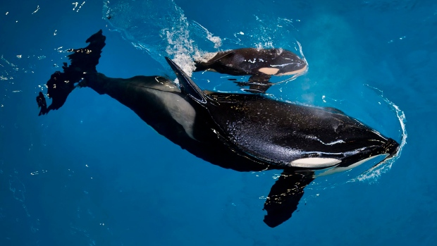FILE- In this April 19, 2017, image provided by SeaWorld Parks & Entertainment, orca Takara helps guide her newborn, Kyara, to the water's surface at SeaWorld San Antonio in San Antonio. The Orlando-based company says 3-month-old Kyara died on Monday, July 24, 2017. (Chris Gotshall/SeaWorld Parks & Entertainment via AP, File)