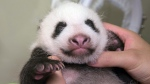 This Saturday, July 22, 2017 photo released by Tokyo Zoological Park Society, shows a giant panda cub at Ueno Zoo in Tokyo. The baby panda, born in June, got a check up on Saturday. (Tokyo Zoological Park Society via AP)