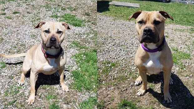 Two of the pitbulls rescued from an alleged dogfighting ring in Tilbury, Ont. can be seen in these undated photos. (Dog Tales)