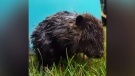 Baby beavers rescued from ditch in Mission