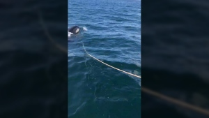 This Sunday, July 23, 2017, photo provided by Victor Littlefield and taken by his son Hunter Littlefield, shows an orca taking off with the anchor line of their fishing boat near Sitka, Alaska. Victor Littlefield said the killer whale repeatedly rammed the boat, yanked the anchor line and slapped the bow with its tail. (Hunter Littlefield via AP)