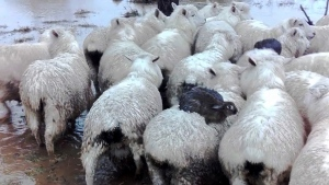 Three rabbits sit on the backs of sheep as they avoid rising flood waters on a farm near Dunedin, New Zealand, in an image made from video. (Ferg Horne via AP)