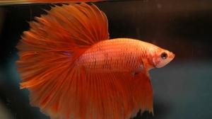 In this undated file photo an orange betta fish is seen. (Daniella Vereeken - Flickr: HM Orange M - Sarawut)