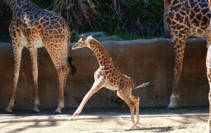 A female Masai baby giraffe born July 11, frolics in her inclosure during its public debut at the Los Angeles Zoo, Wednesday, July 26, 2017. (AP Photo/Richard Vogel)