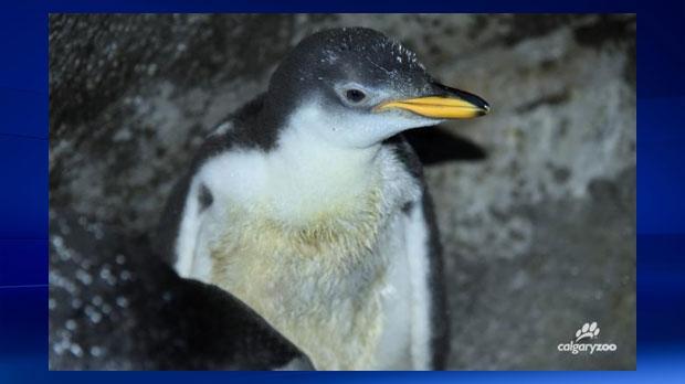 Calgary Zoo penguin hatchling