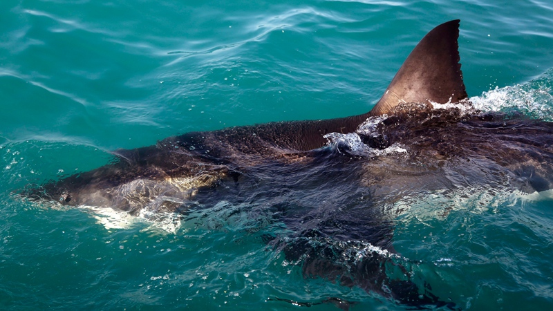 Warming Pacific Means More Great White Sharks Swimming In BC