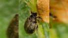 European insect ravages N.S. trees