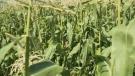 Lethbridge corn